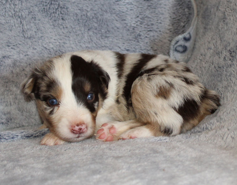 RED MERLE MALE!