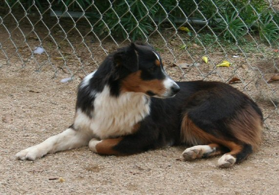 CLICK HERE TO SEE MORE PICS OF ASCA/AKC registered female: