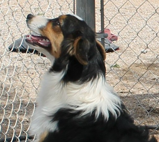 CLICK HERE TO SEE MORE PICS OF ASCA/AKC registered female: AKC/ASCA CORONADO'S CLASSIC TARA-BELLE