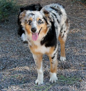 CLICK HERE TO SEE MORE PICS OF ASCA/AKC registered female: FAIROCKIN CLASSY TASSIE